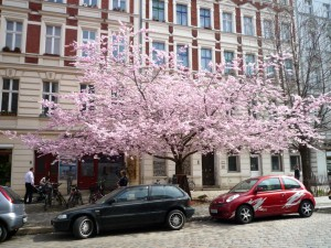 Japansk kirsebærtræ_Berlin
