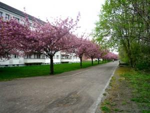 Japanske Kirsebærtræer_Berlin4